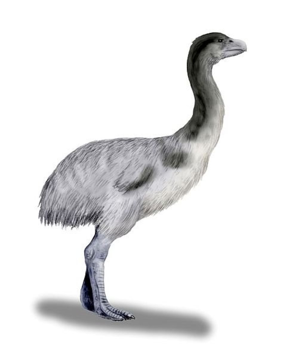 Smaller than Bullockornis, Genyornis was a demon duck familiar to early Australians.