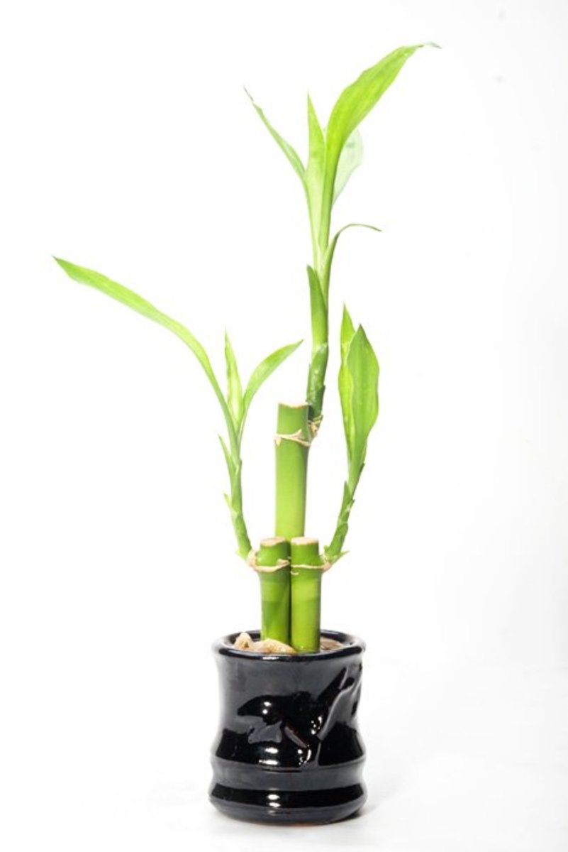 Lucky bamboo symbolizes long term good fortune growth and healing