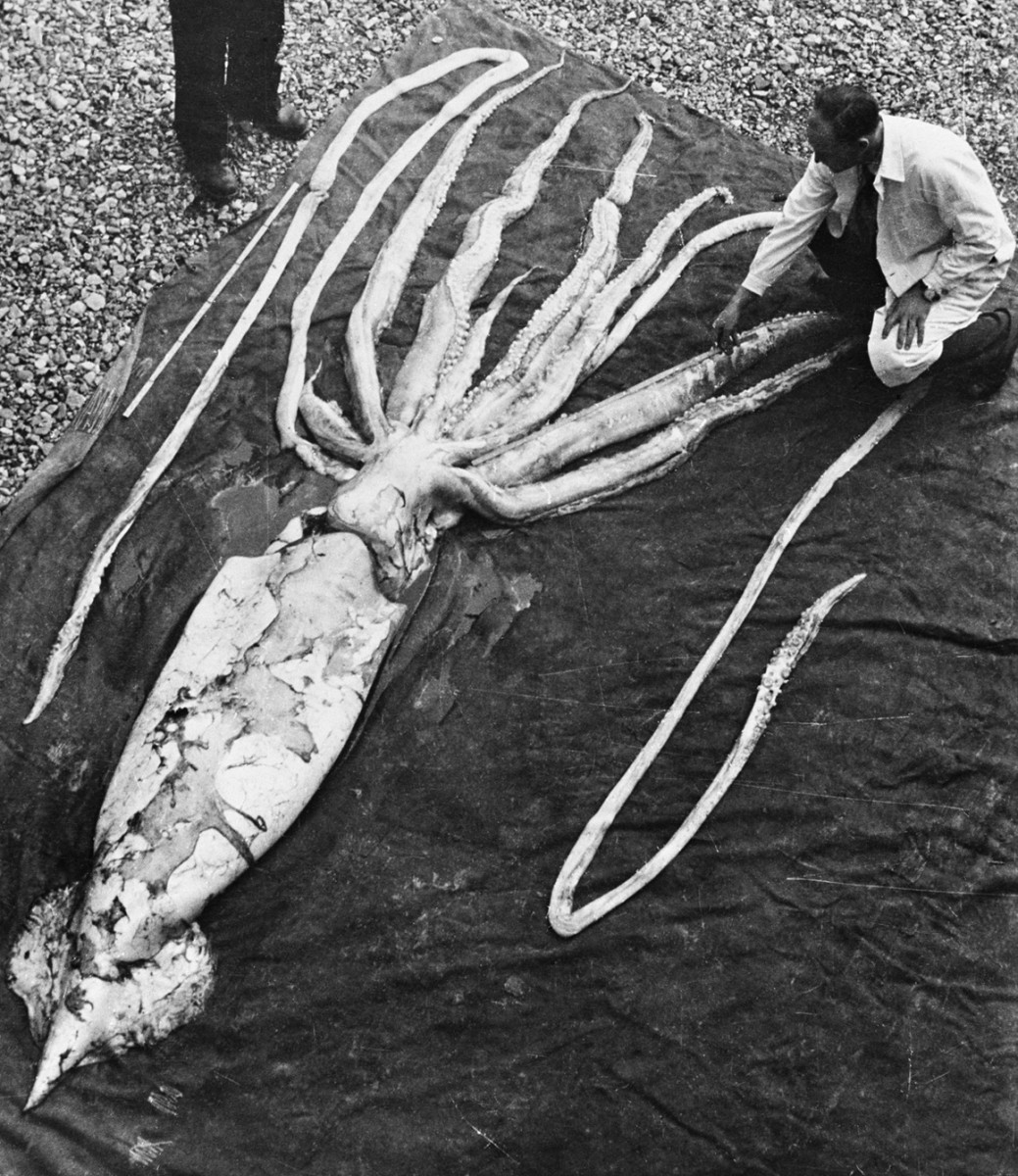 The imaginary giant squid, caught for real in a fishing net in 1954. Here it is being measured by scientists.
