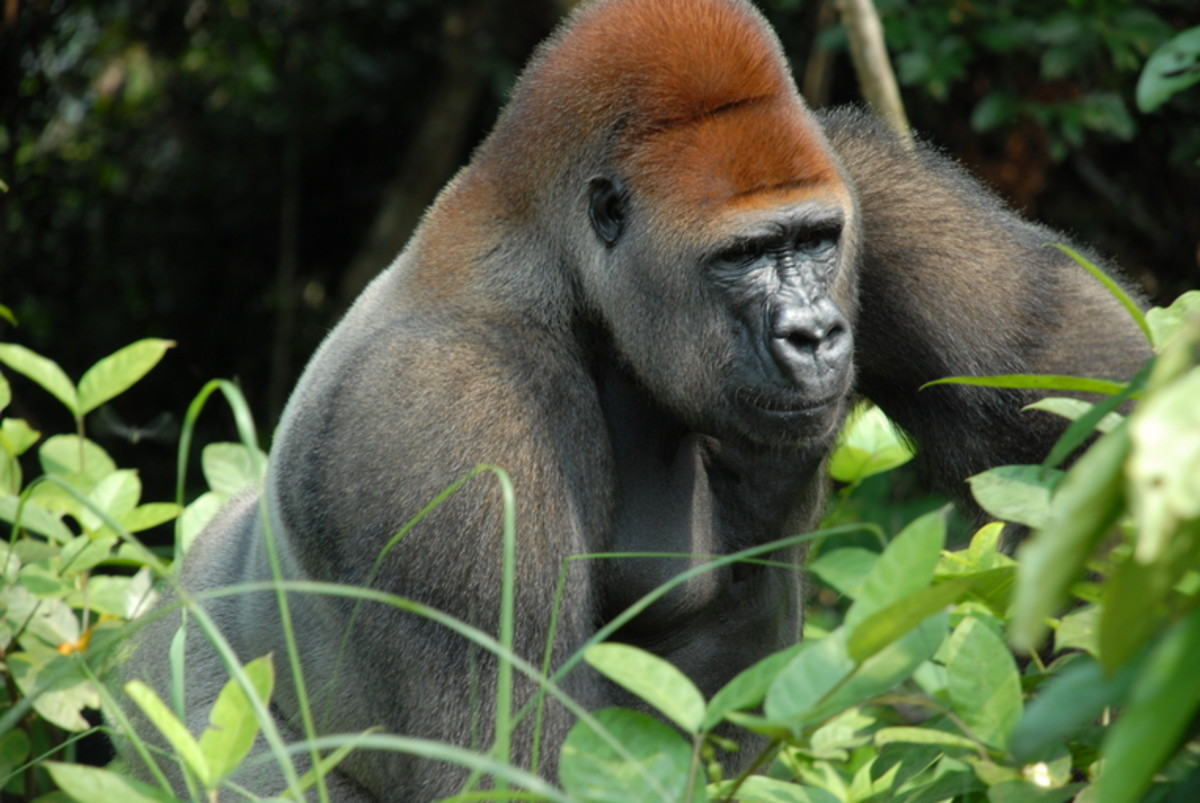 Gorillas are large primates that eat a diet consisting almost entirely of vegetation.