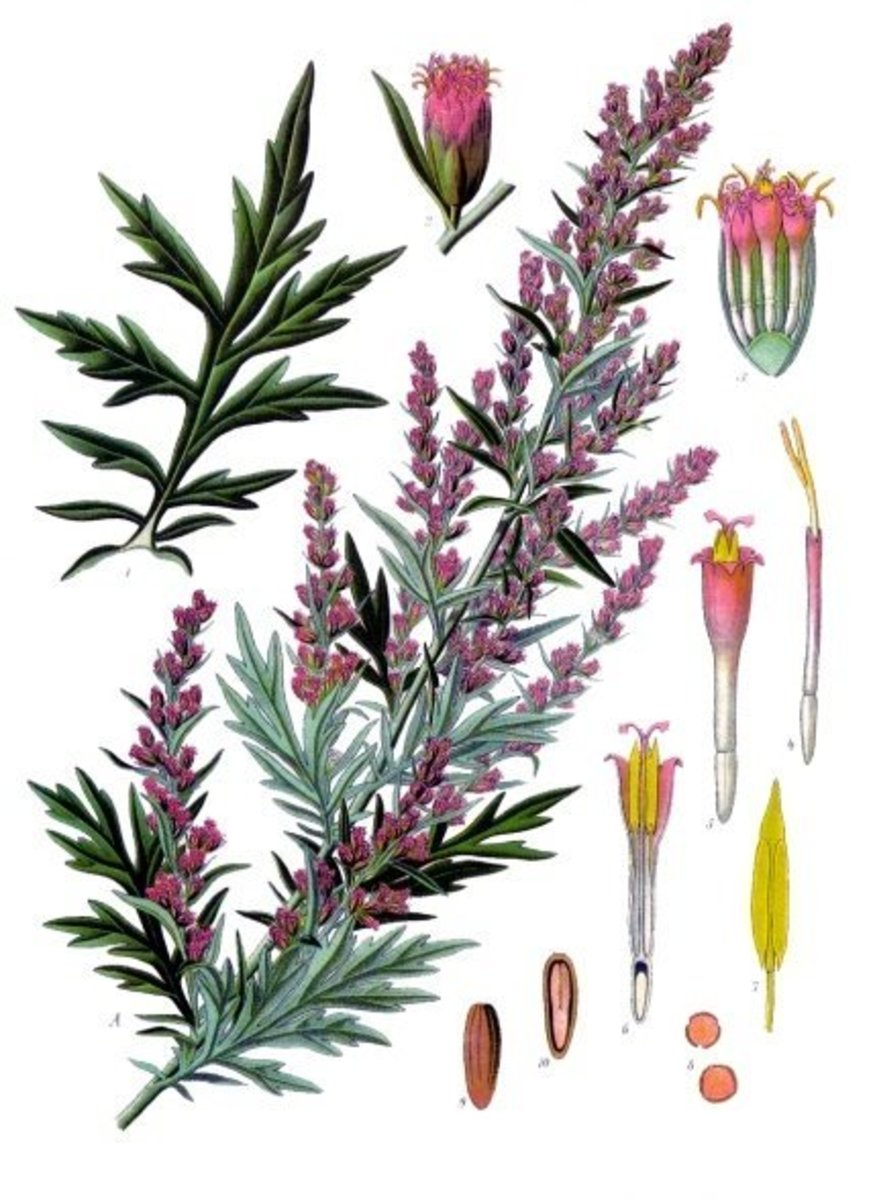 Mugwort herbal print.