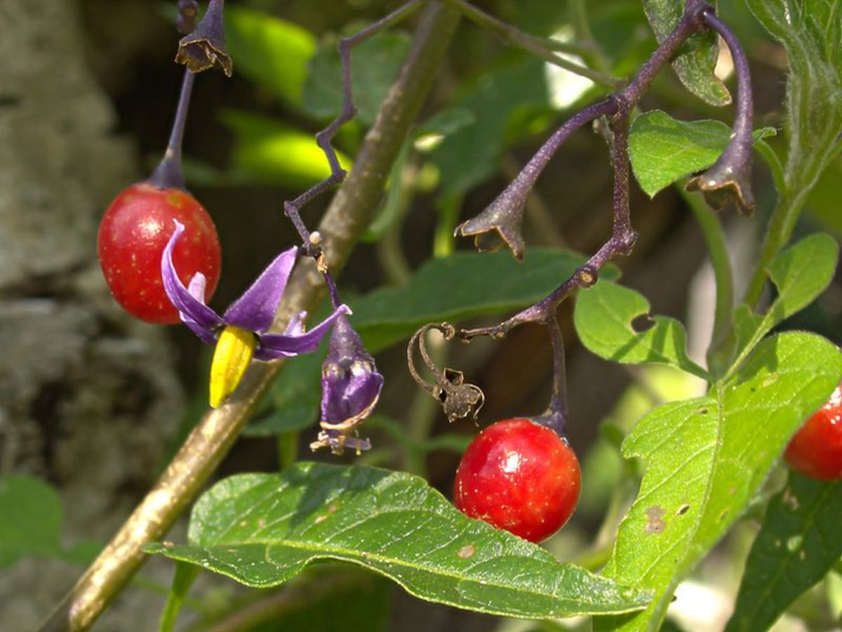 Solanum dulcamara is sometimes confused with belladonna because it is also called 'Nightshade'. It's related but not the same plant. This plant is ALSO HIGHLY TOXIC, by the way.