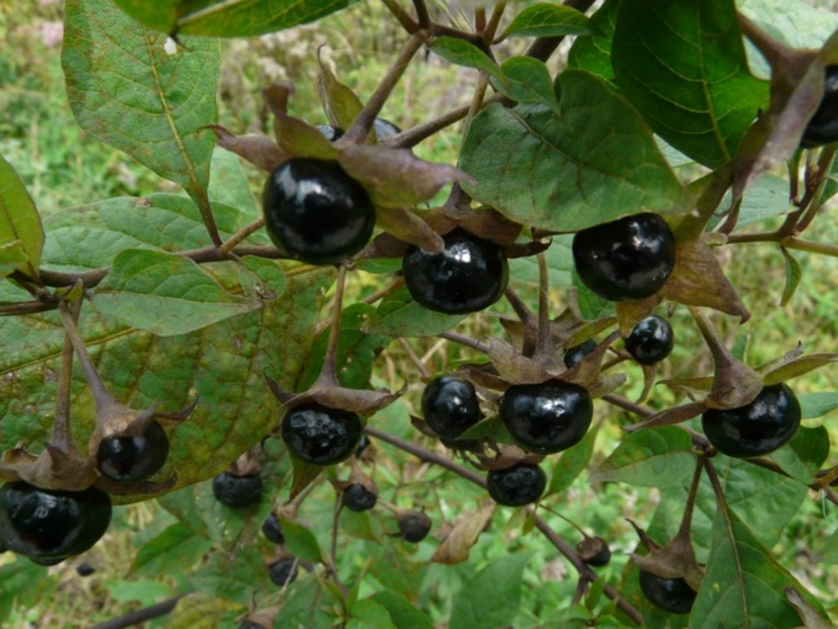 Belladonna grows to about 5 feet tall with oval leaves, purple flowers and produces very dark purple (almost black) berries.