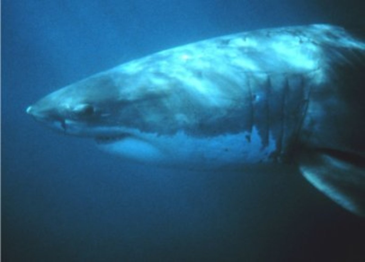 Great White Sharks have been recorded diving as deep as 4,000 feet.