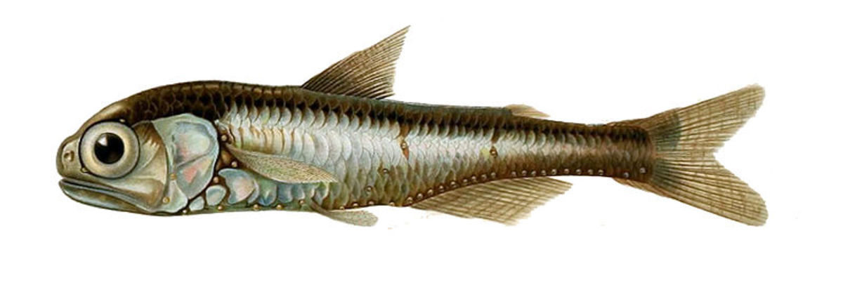 Deep-sea creatures like the Lanternfish are likely way too small to sustain a Megalodon Shark.