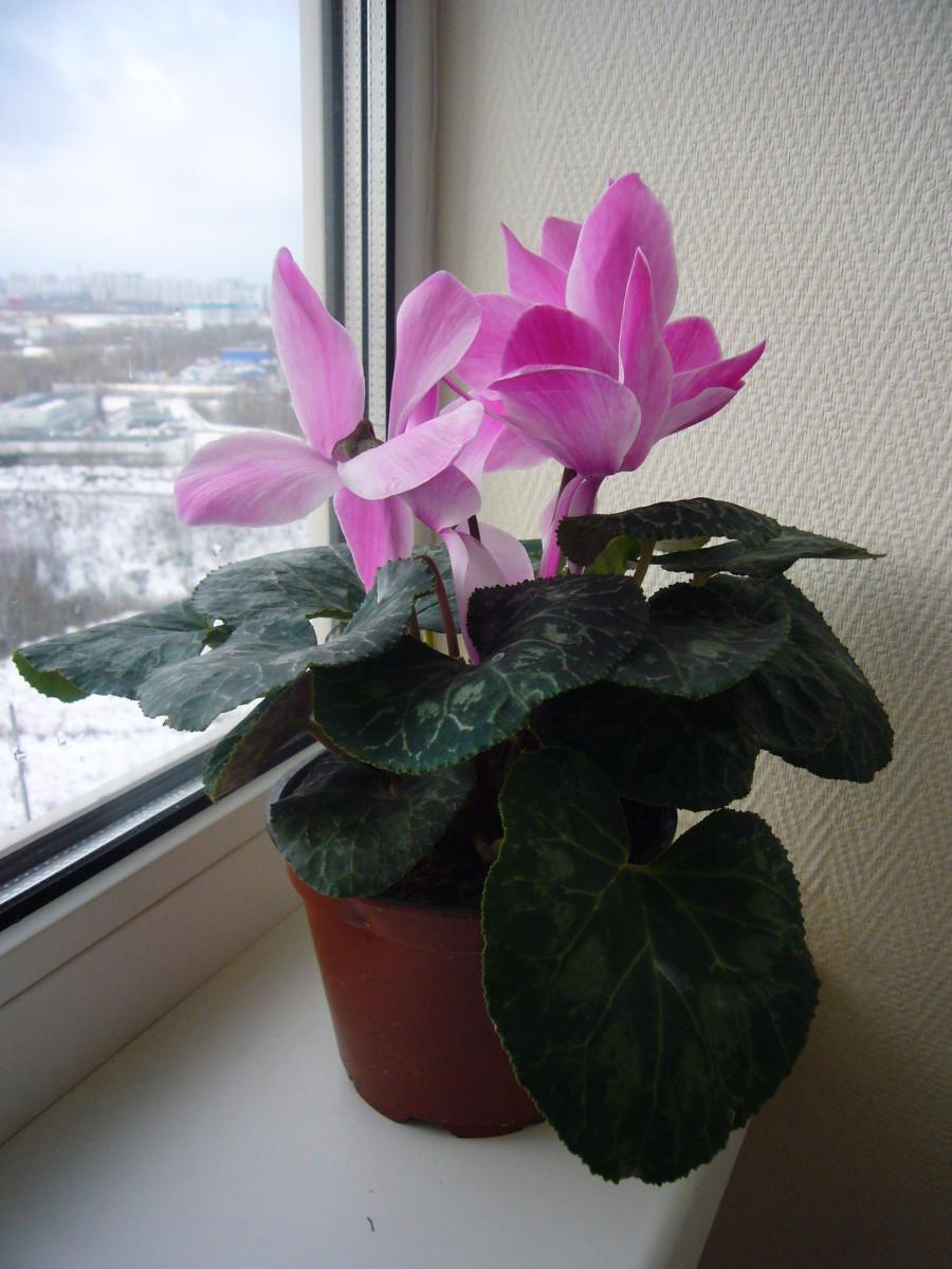A healthy cyclamen growing on an indoor window sill.