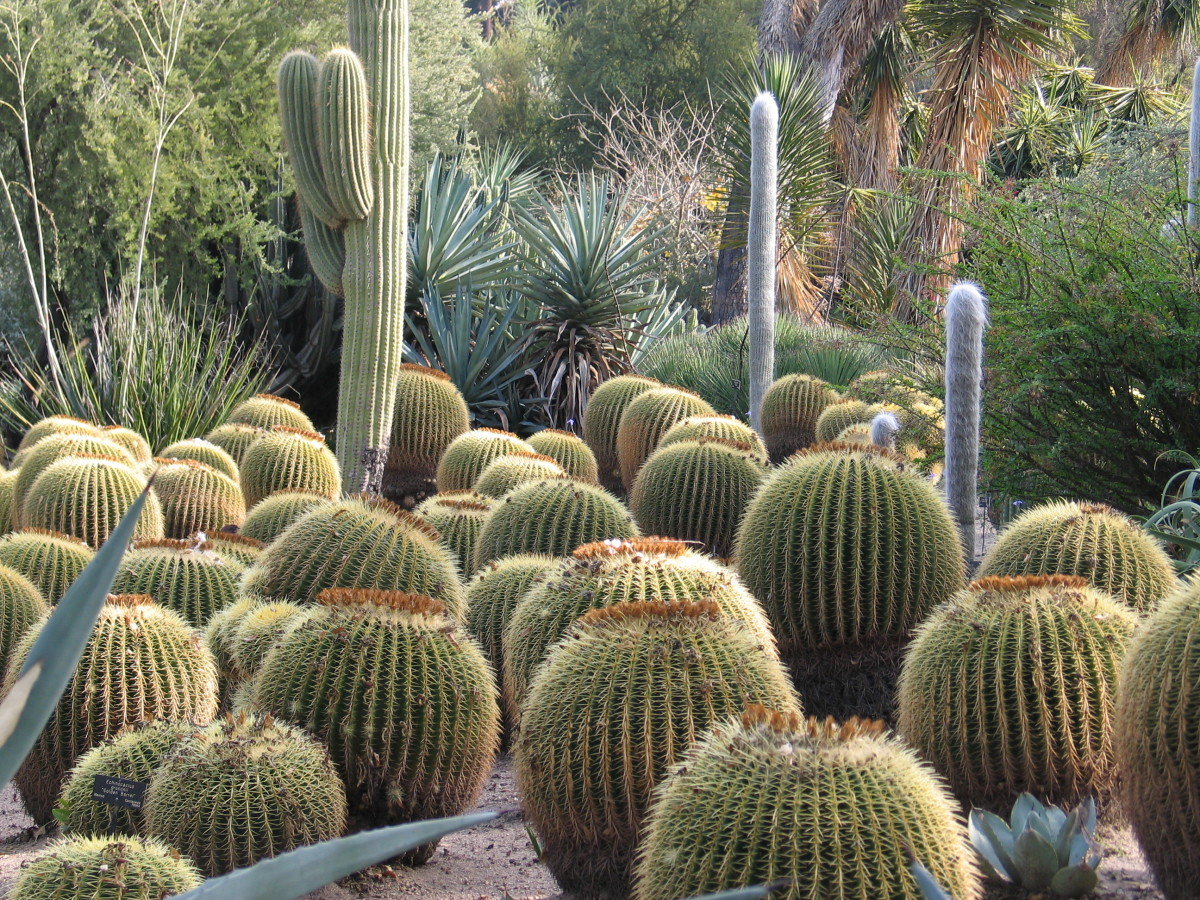 Cacti come in a great variety of shapes and sizes.