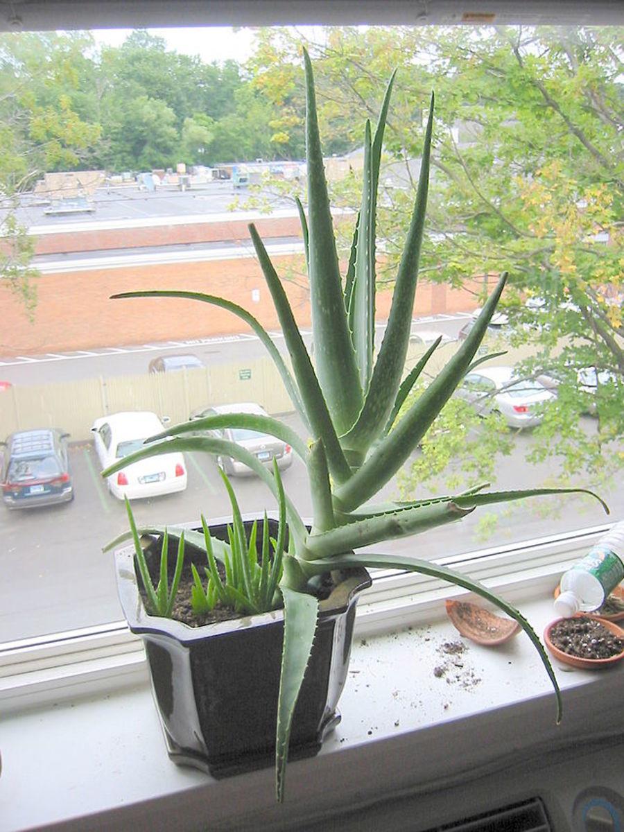 Aloe vera plant on a windowsill.