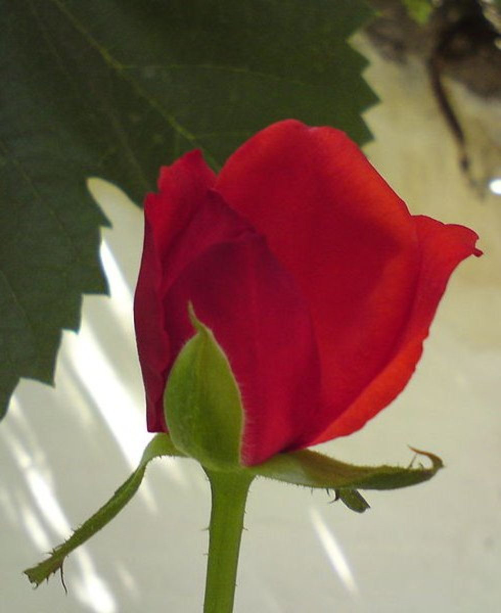 Red roses are symbolic of passion.