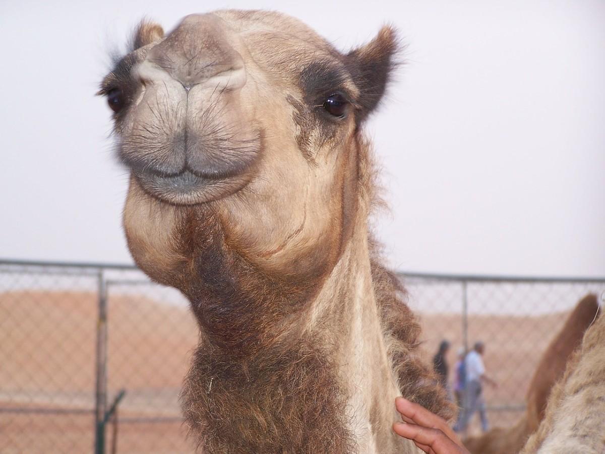 Camel Totem