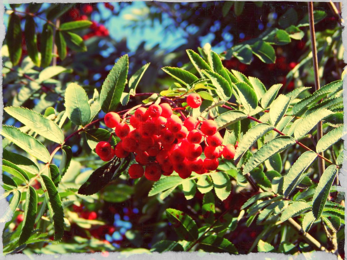 A bright bunch of rowan berries.