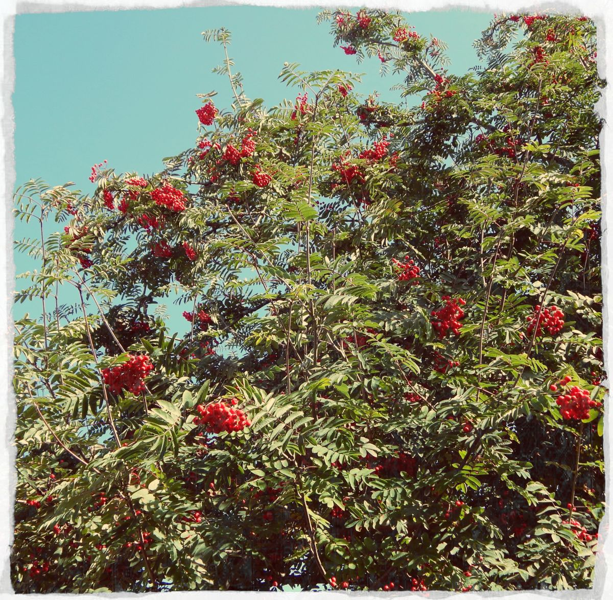 The rowan tree is believed to have protective virtues.