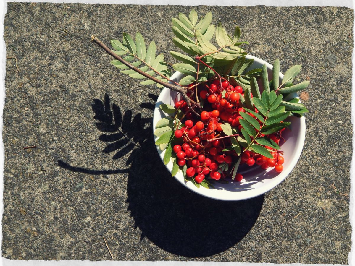 Gathered rowan berries.