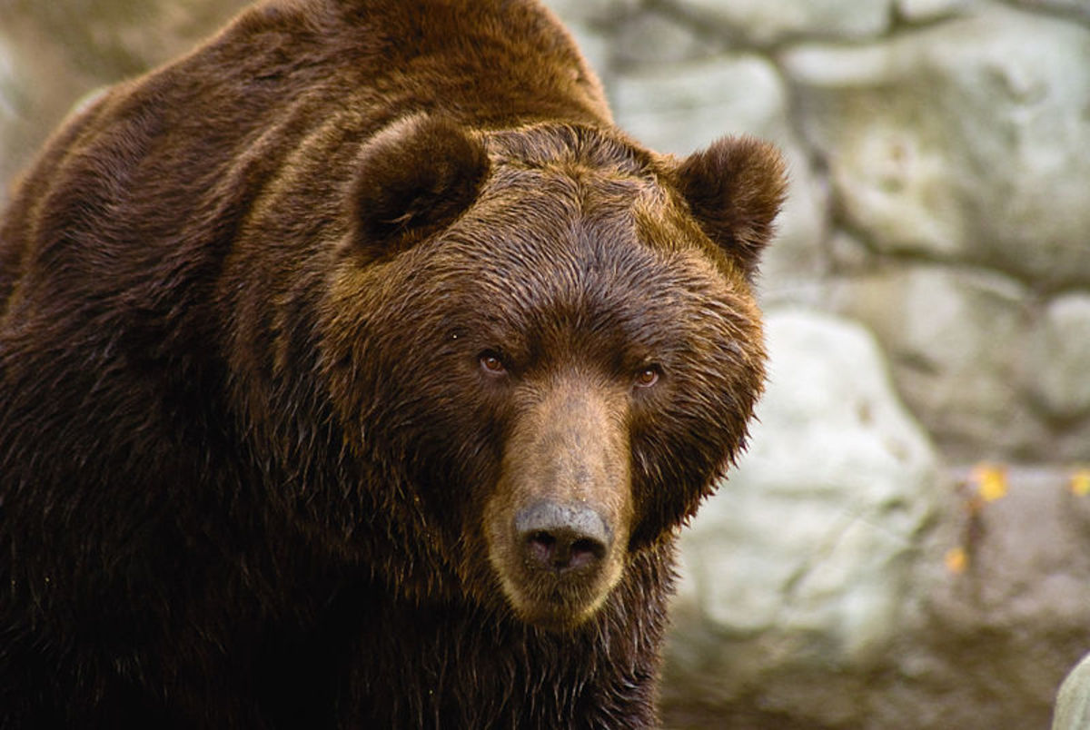 Kamchatka Brown Bear: Was this Berman's Bear, or was it something else?