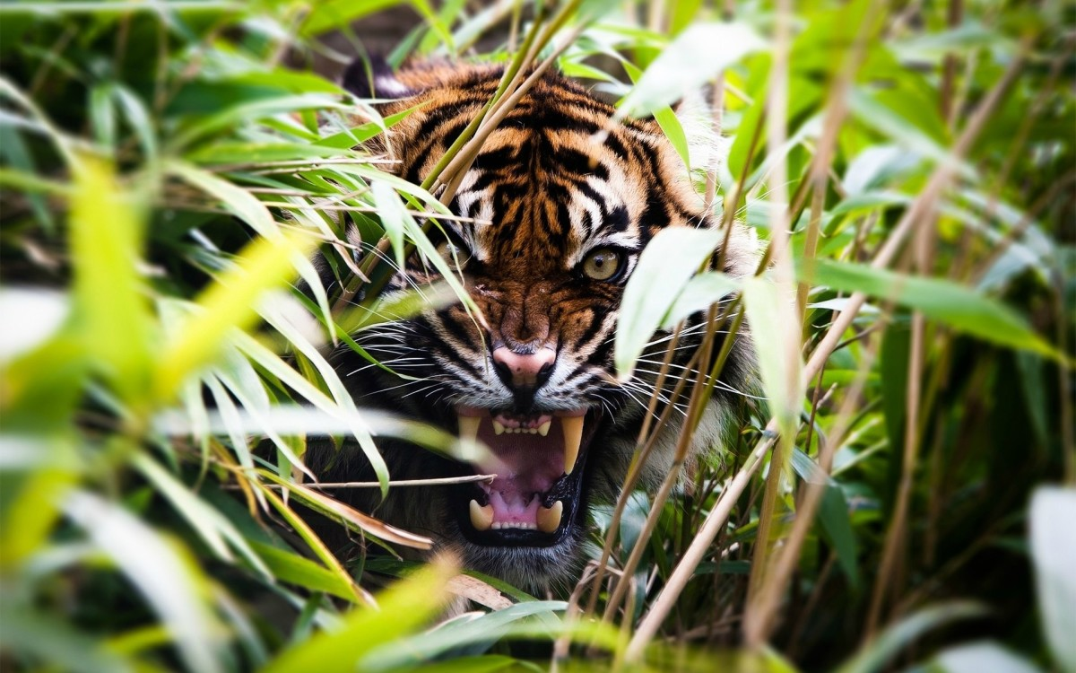 Infrasound can be found, or felt, in a Tiger's roar