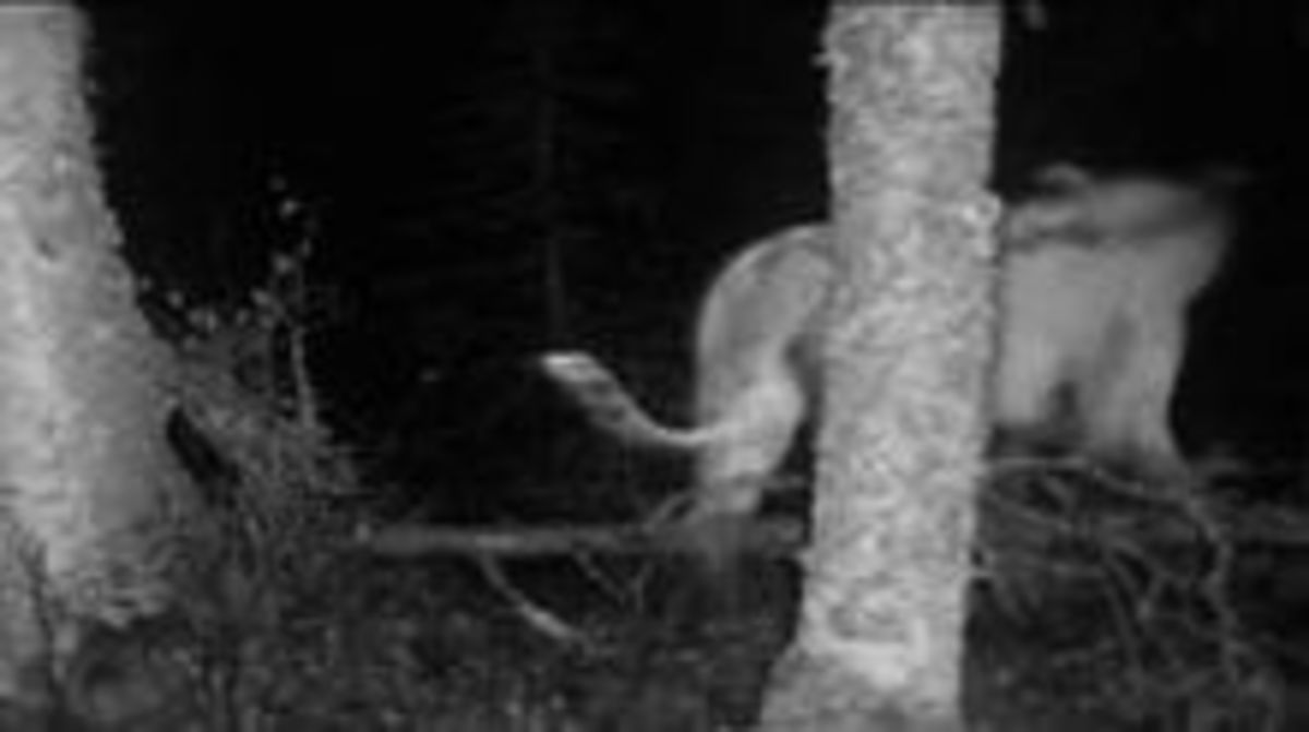 A supposed sighting of the White Death from a trail cam.