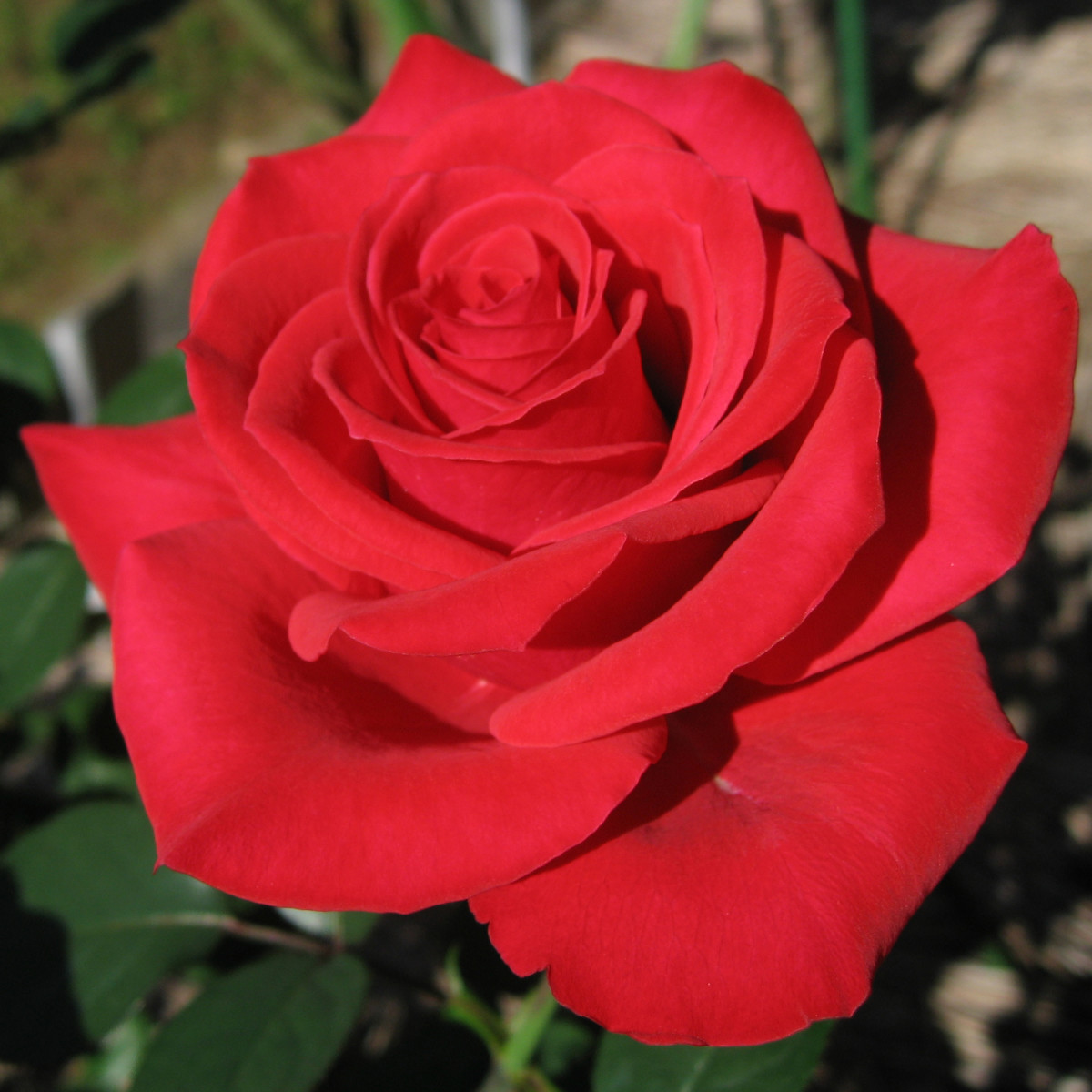 The rose is a well-known love magick plant.