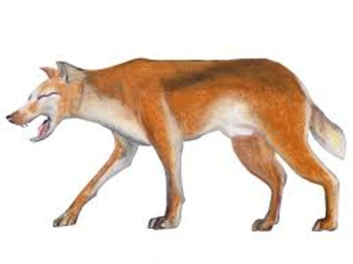 An artist's depiction of the Adjule or Bush Dog.