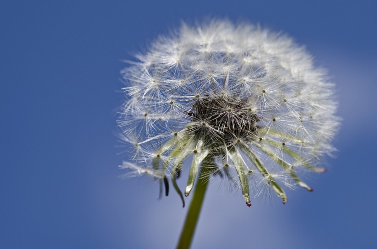 One little puff ball has all the seeds you need for a large crop of dandelions.