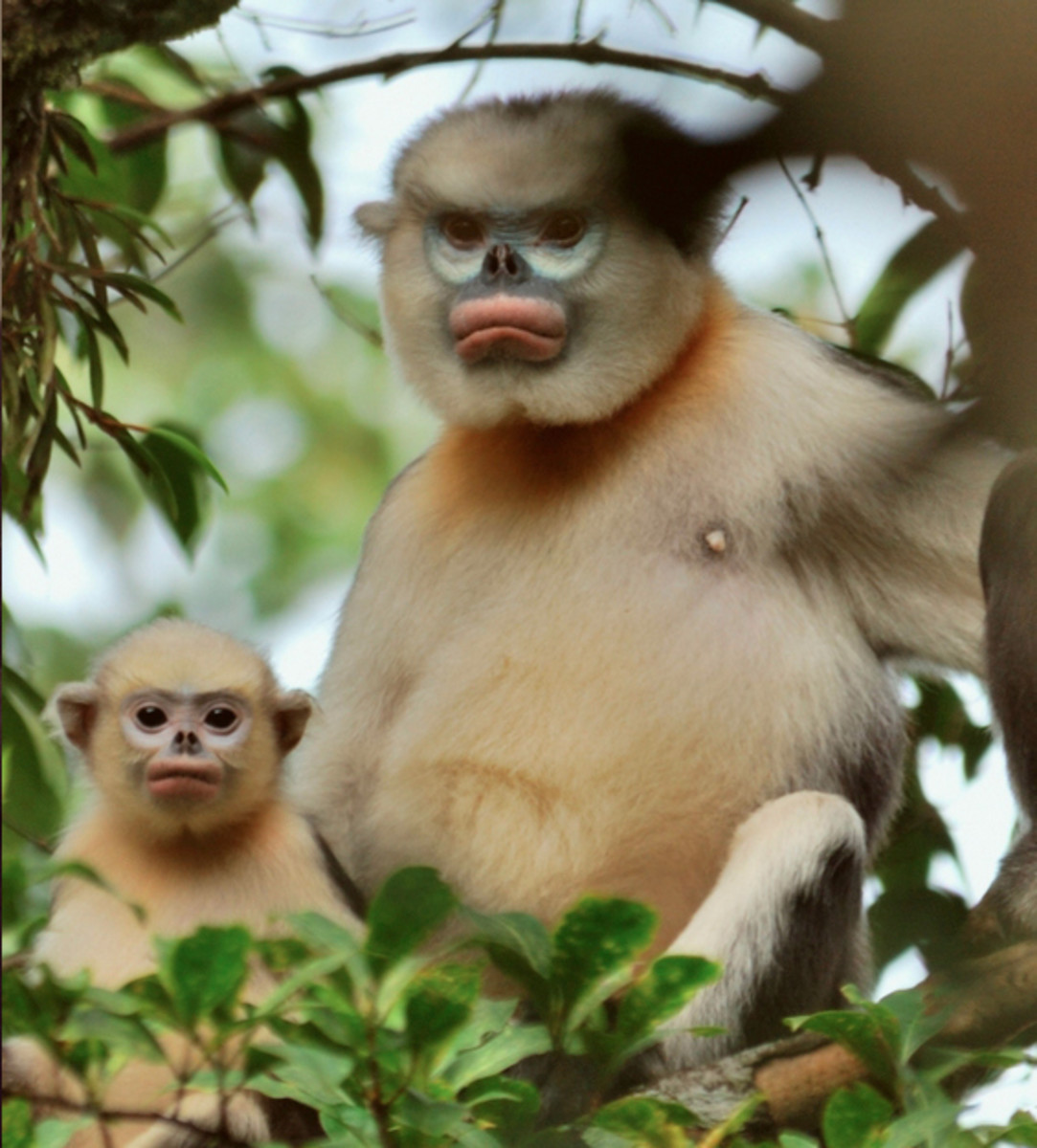 Our prime suspect: the critically endangered Tonkin snub-nosed monkey.