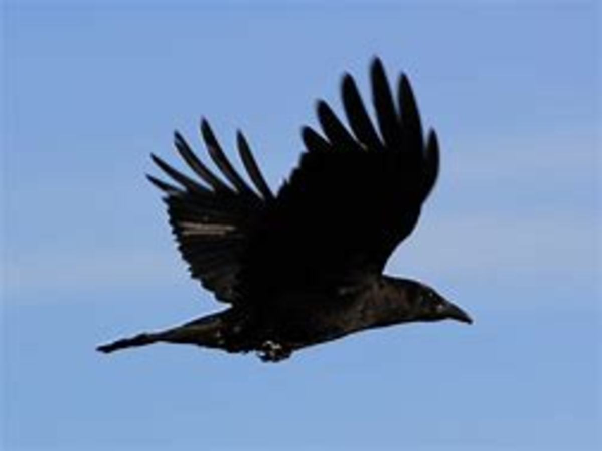 The crow has long been thought, by some, to be a symbol of the connection between this world and the next.