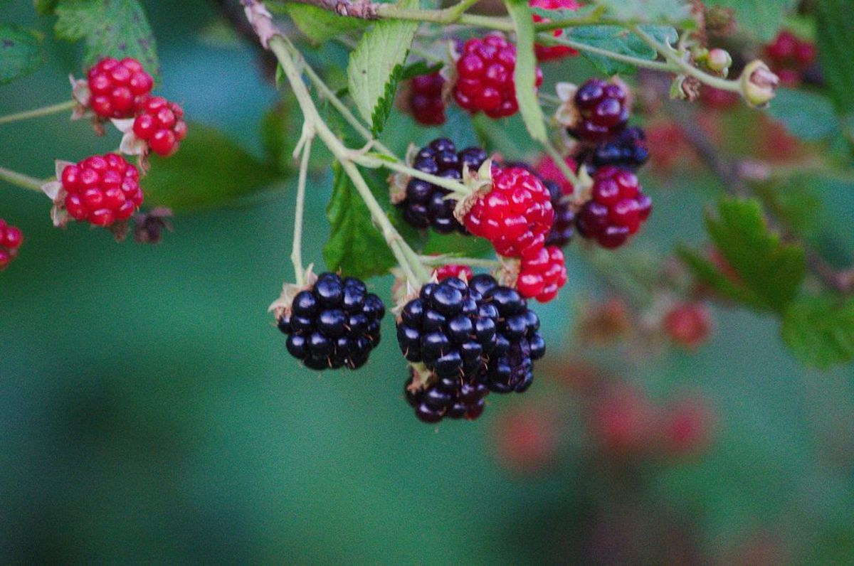 Blackberries are linked to fertility magic.
