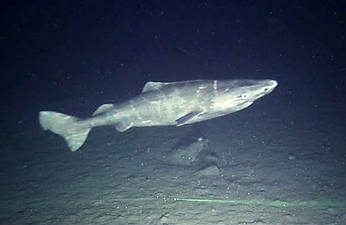 Greenland Shark, owww.sci-news.comriginally posted on