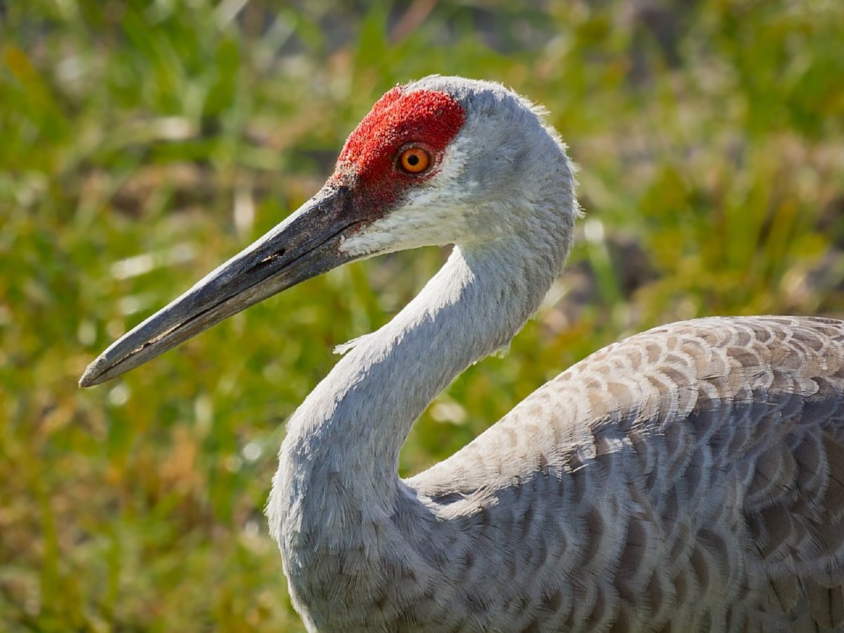 At least one expert believes that Mothman sightings actually involve a sandhill crane, but witnesses maintain that the creature they saw looked nothing like this bird.