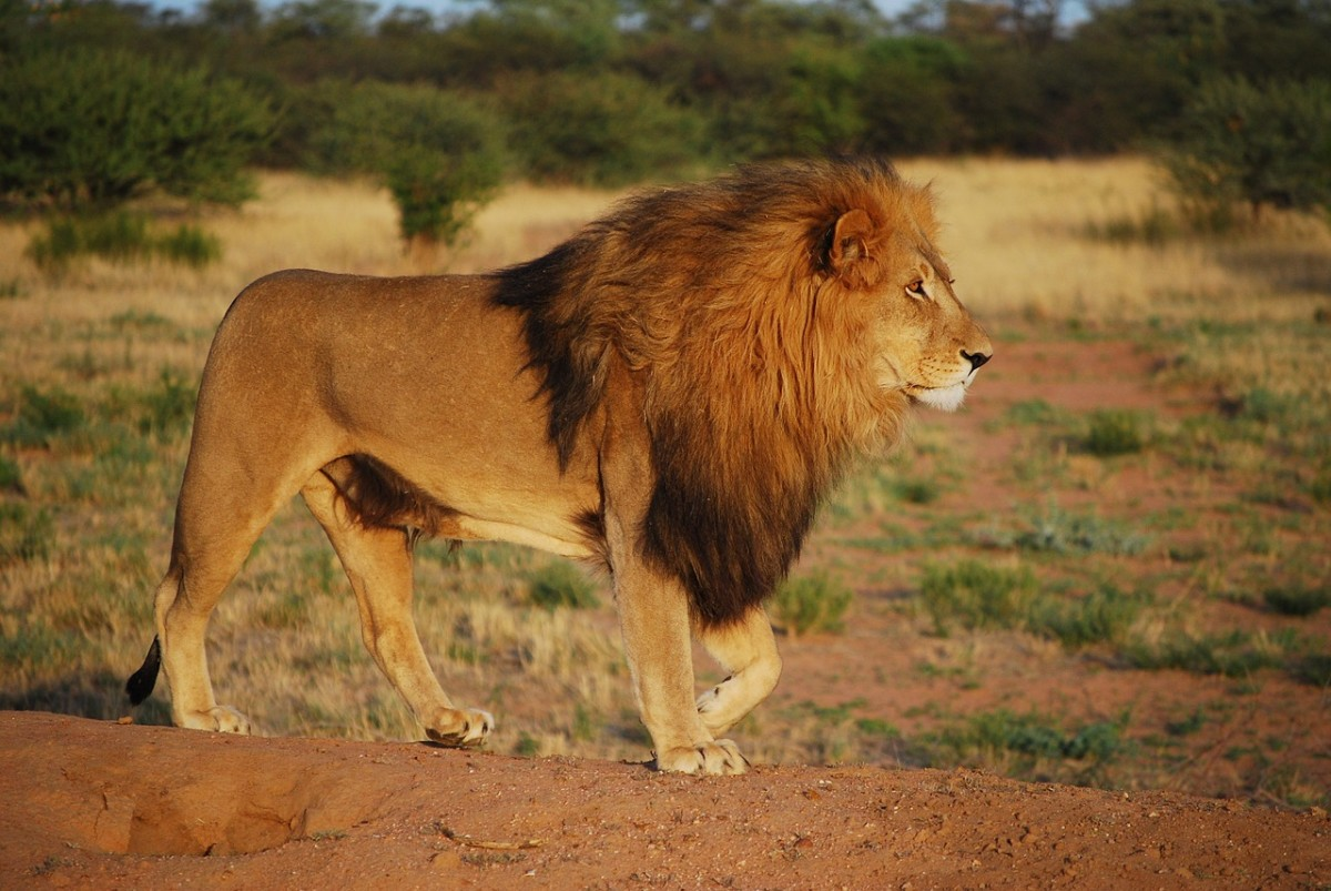 A lion is coming at you. How you react determines how your dream goes.