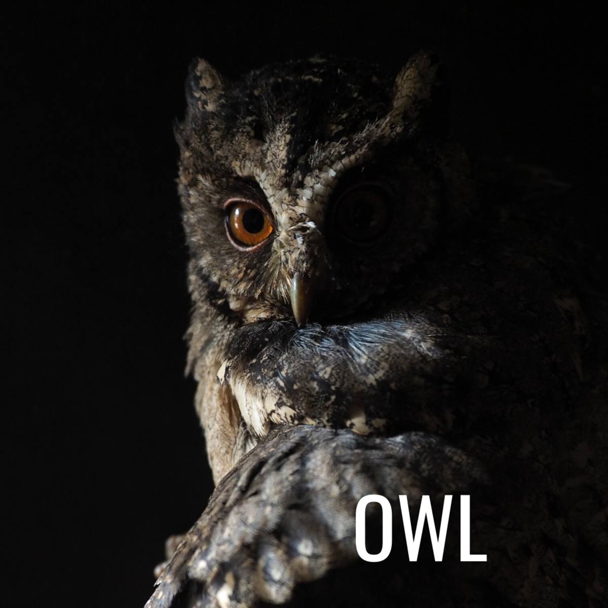In many cultures, owls are considered harbingers of death.
