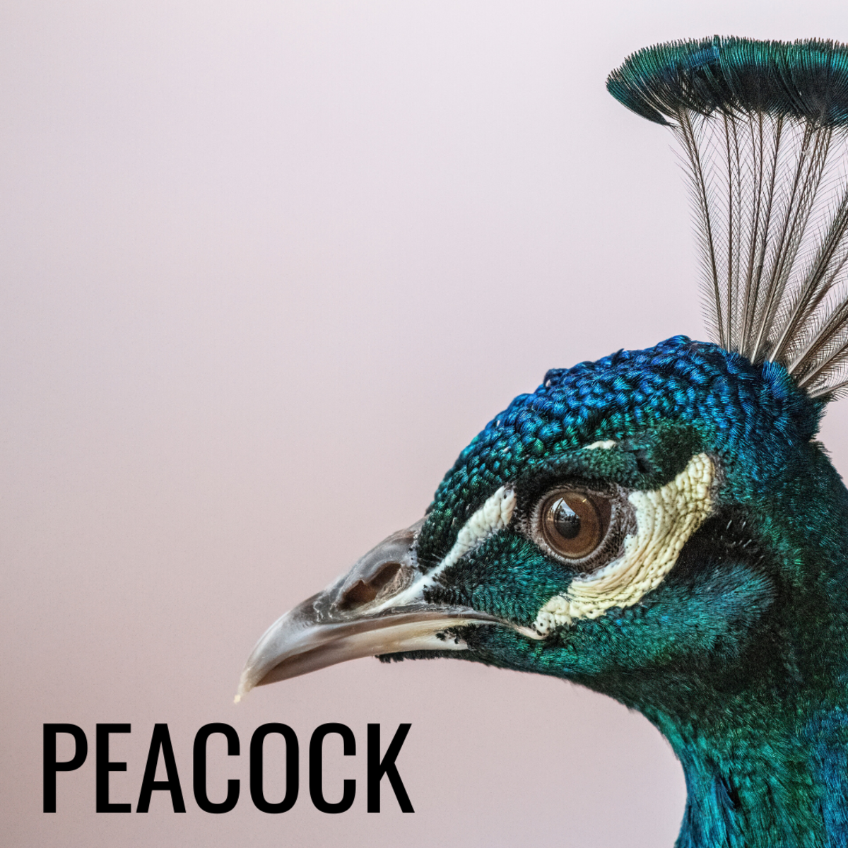 Peacocks can represent vanity but also beauty and purity.