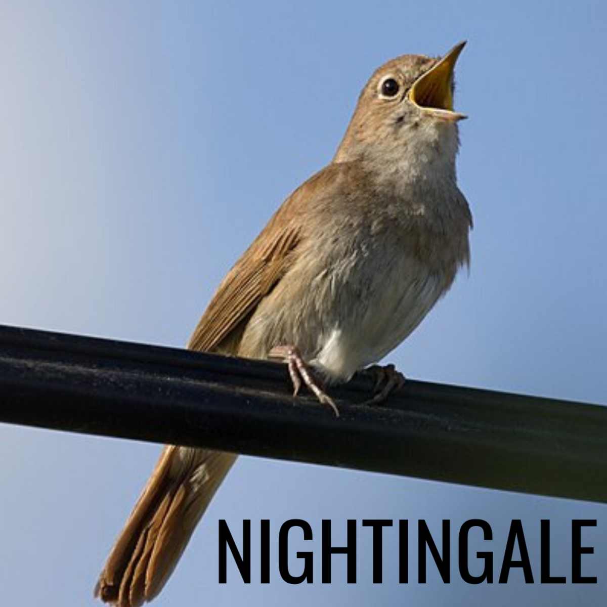 The nightingale is associated with love, longing, and creativity.