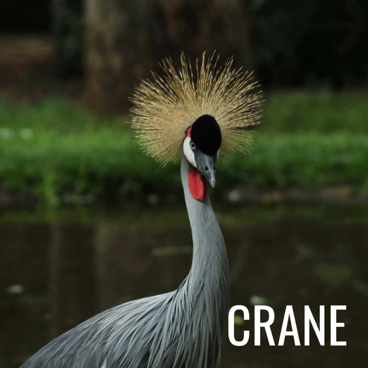 Crane are known for their exquisite mating dance.