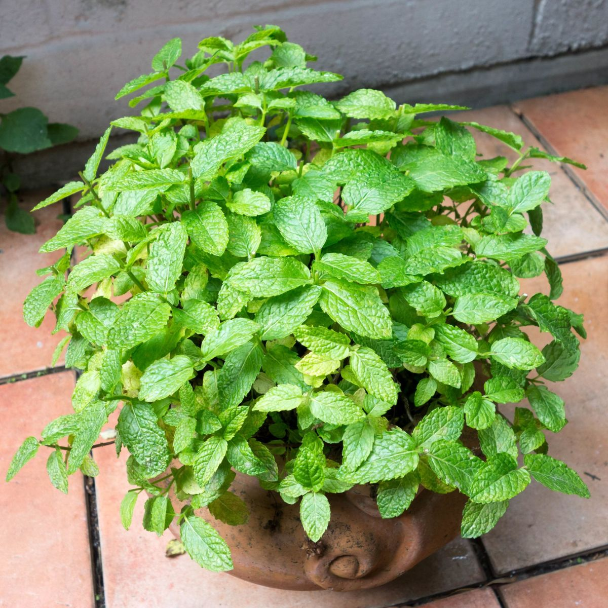 There are many varieties of mint including peppermint, spearmint and apple mint.
