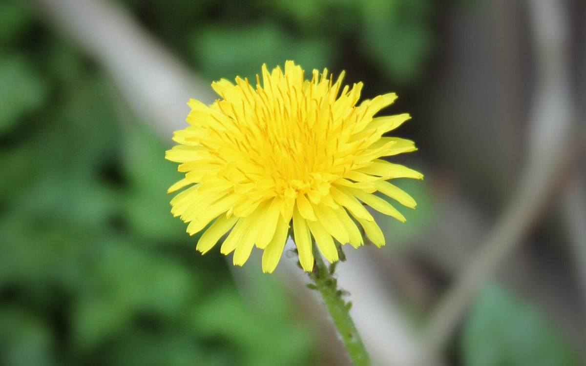 Dandelions are a great plant to have in the garden.