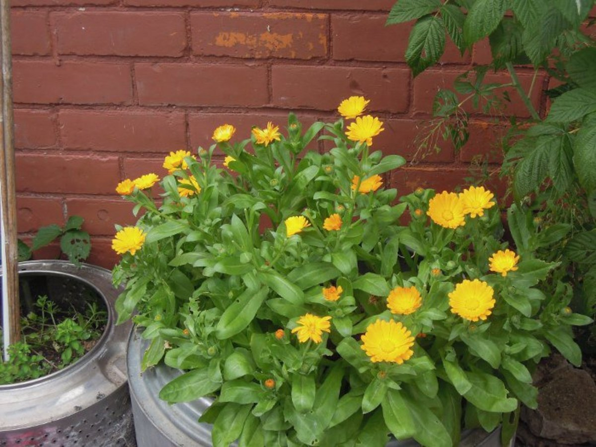 Calendula makes excellent remedies for skin complaints.