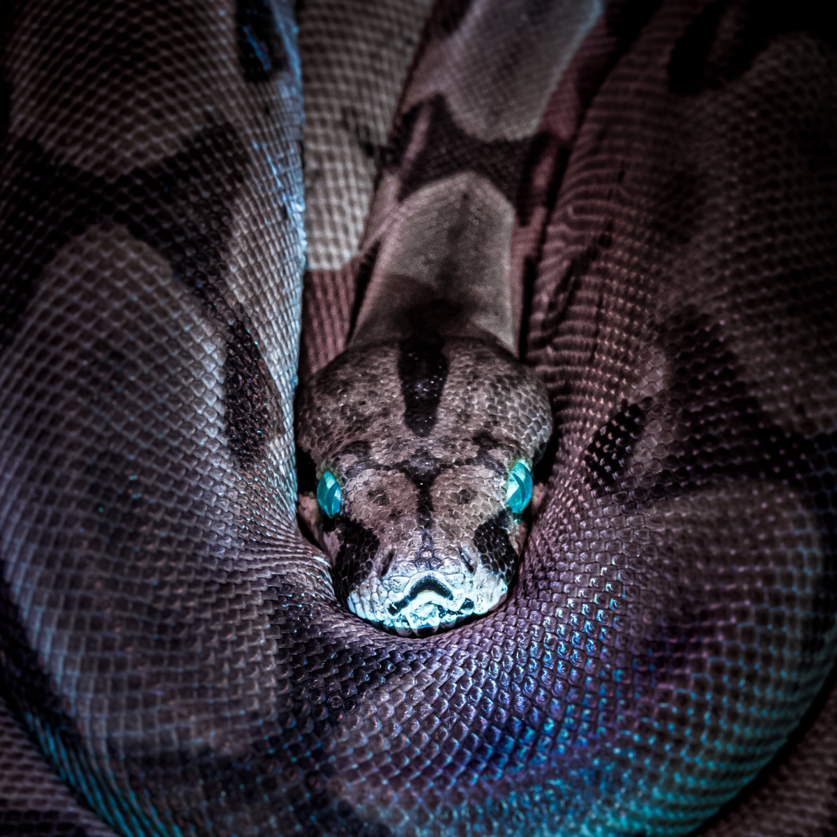 An extreme fear of snakes may be clinically diagnosed as ophidiophobia.