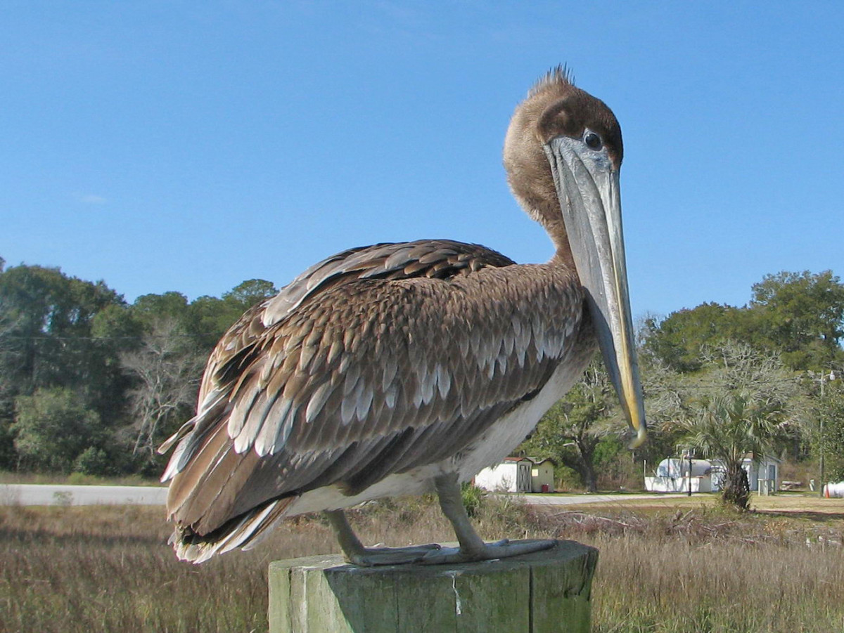 A juvenile brown pelican.  Brown pelicans are elegant in the air, but can appear almost comically clumsy on land.  They are spectacular fishers, though, diving down from the air and often submerging completely for a brief moment.