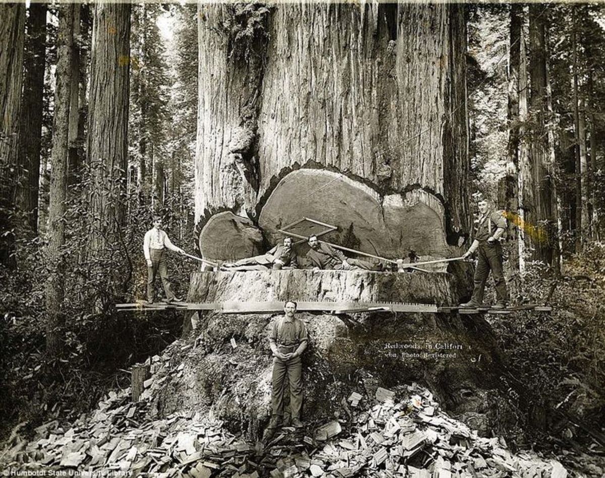 An Old Redwood Logging Photo