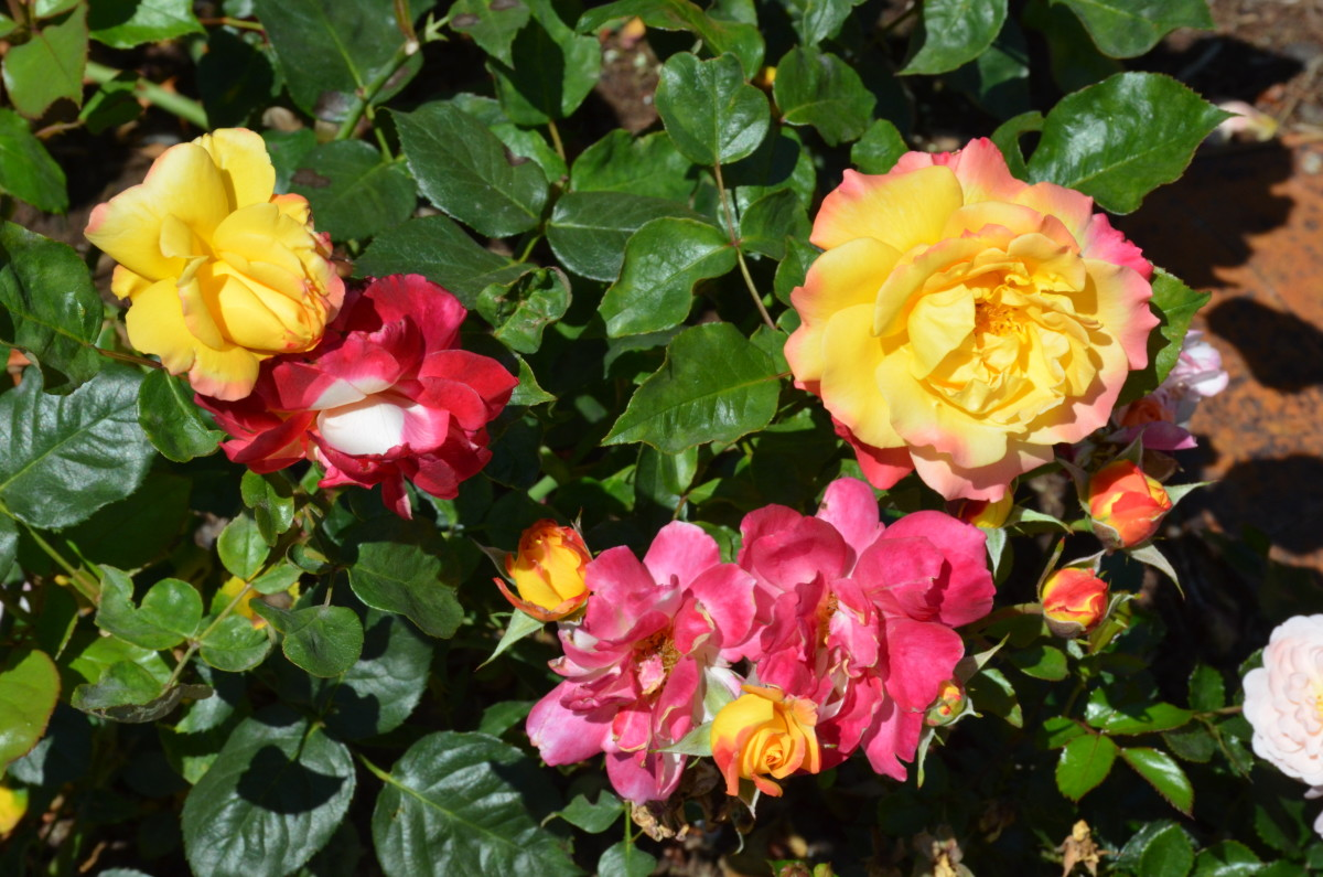 Roses at the International Rose Test Garden in Portland, Oregon