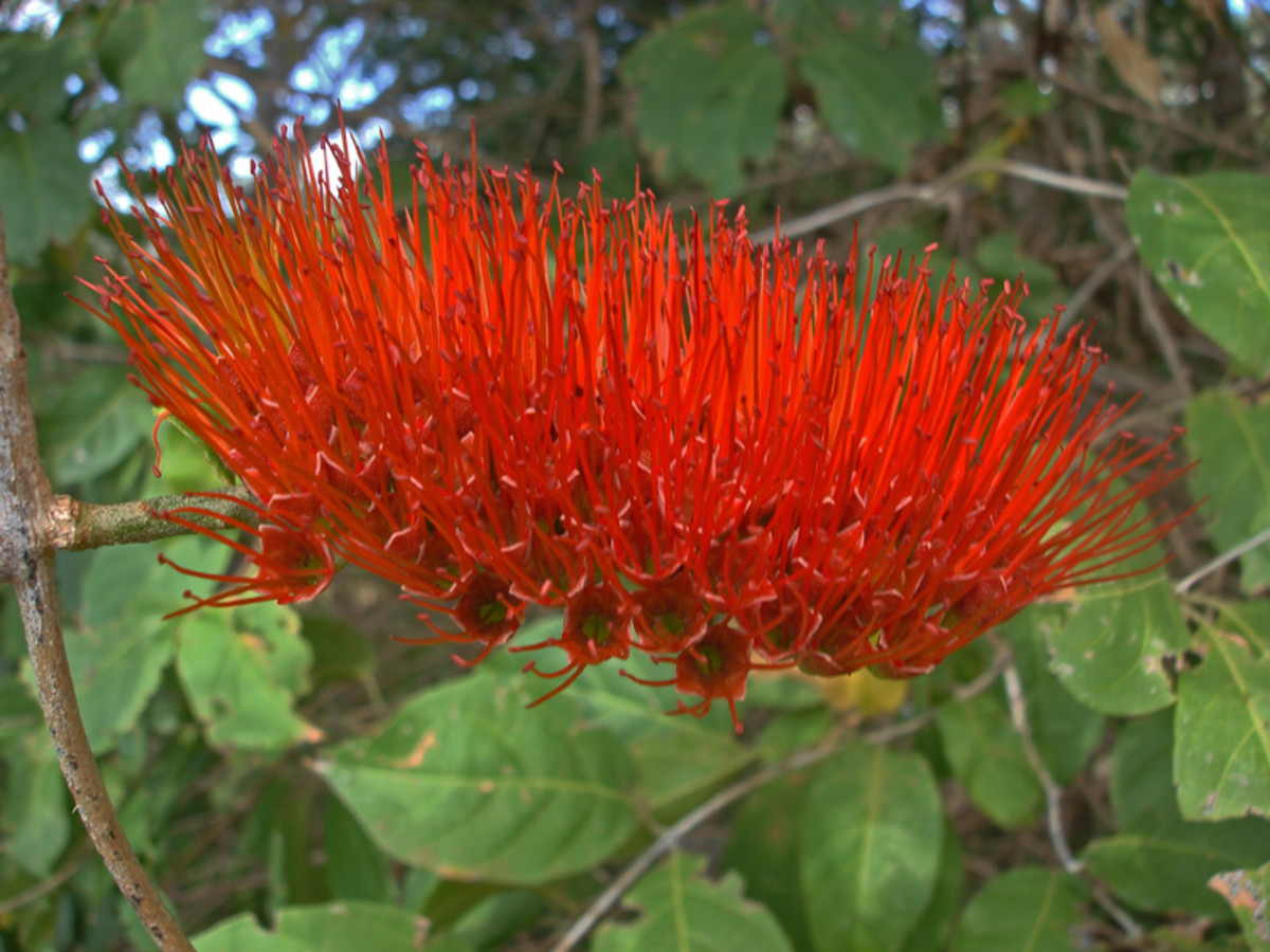 "Believed to be Combretum farinosum. This flower, when it is green, is a major source of nectar for hummingbirds.  Found near Quebrada Grande in Guanacaste province.  Ticos call it ""cepillo"" because it resembles a brush."
