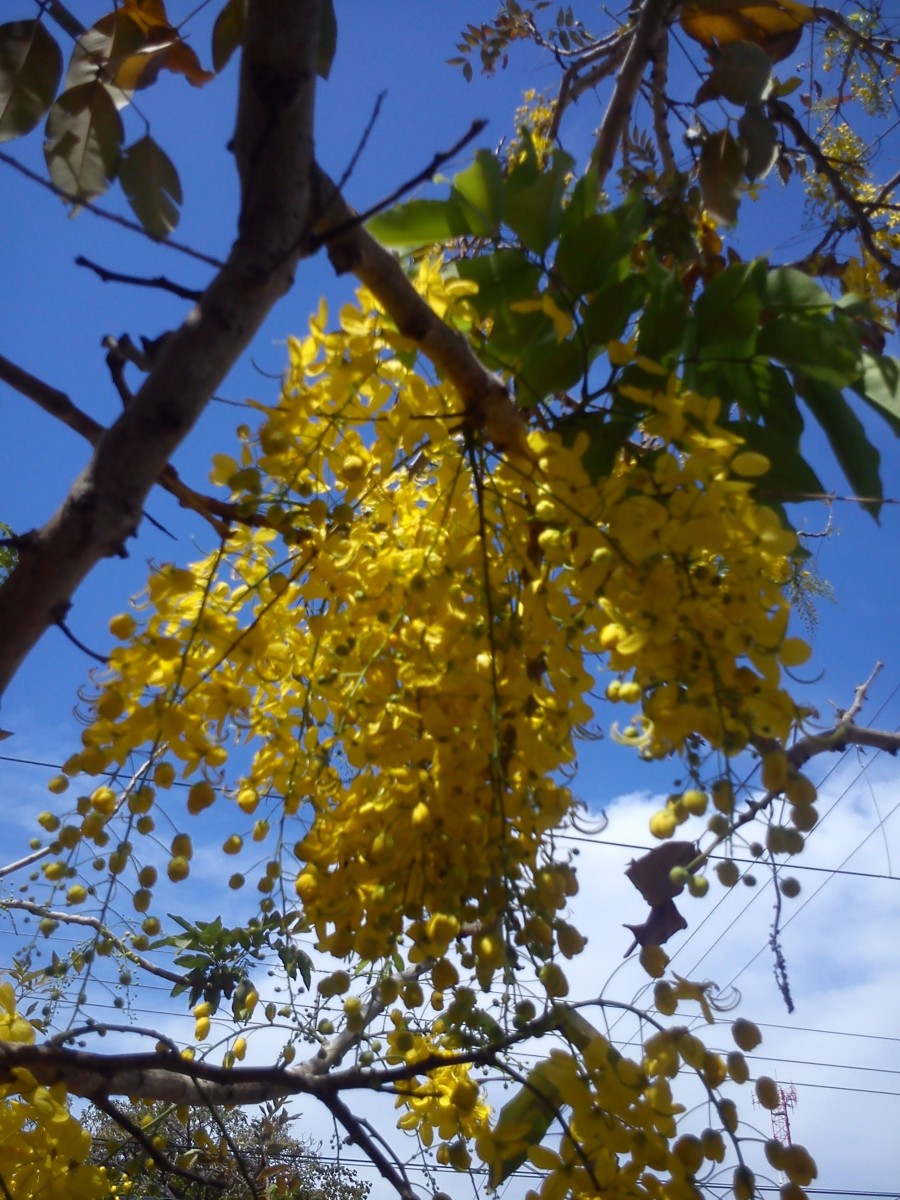 """Cañas fistula,"" scientifically known as Cassia fistula.  Blooms around mid-March in Guanacaste, give or take a month."