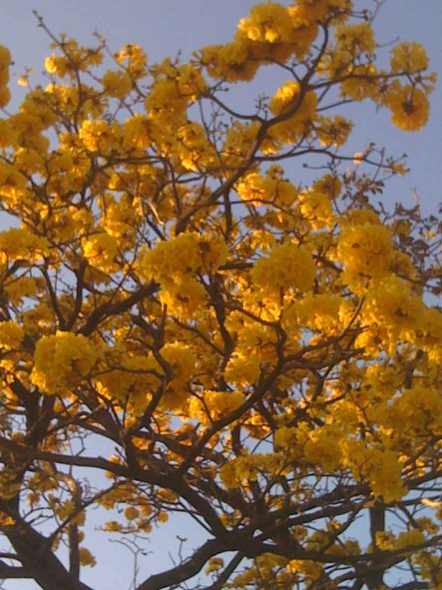 """Cortez amarilla"" tree (Tabebuia ochracea).    The flowers are beautiful, if only for a few days in late February to the end of March.  They have flowers during the dry season when they don't have leaves in Guanacaste."