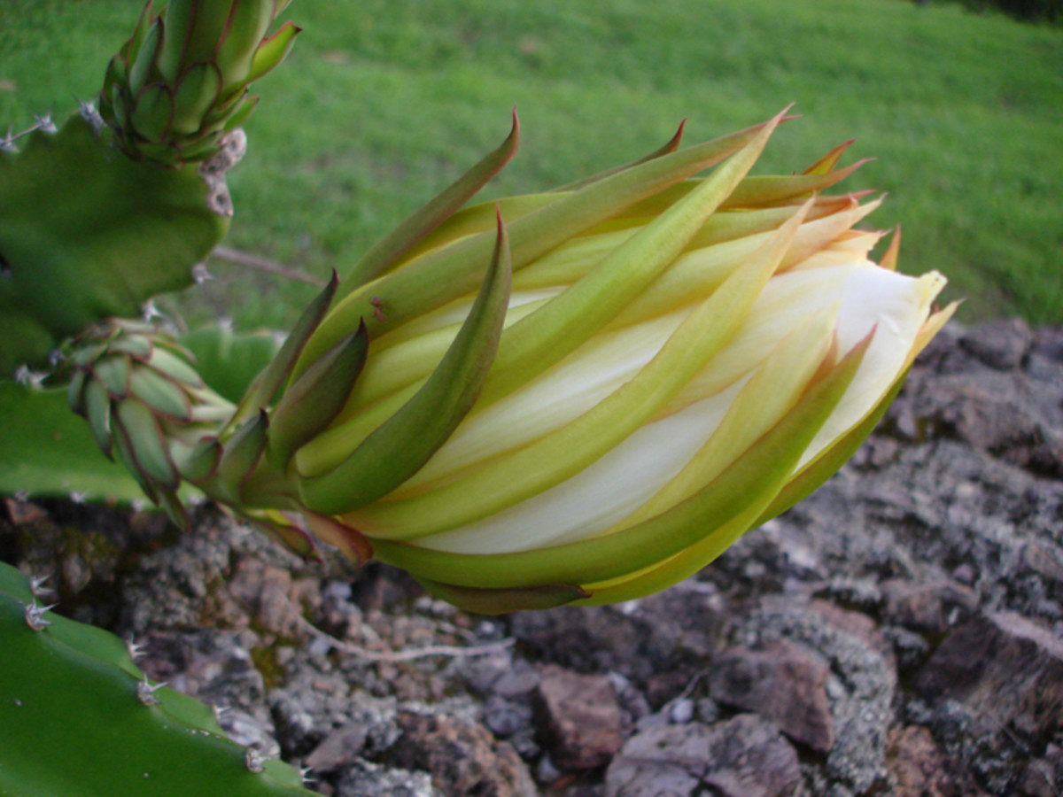 Pitaya bud before opening.  It is very common to see pitaya growing on rock walls.
