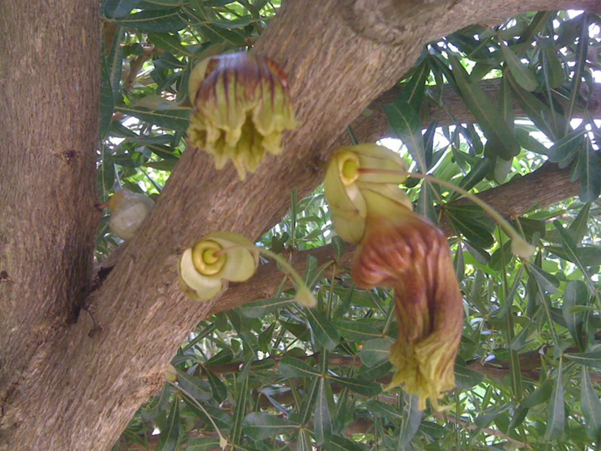 Jicaro (calabash tree, Crescentia alata) flowers.  The jicaro makes gourd-like fruit all along the trunk.  These jicaro gourds can be decorated or used as drinking vessels.  The gourds can get as large as 7-8 inches in diameter, but they are more com