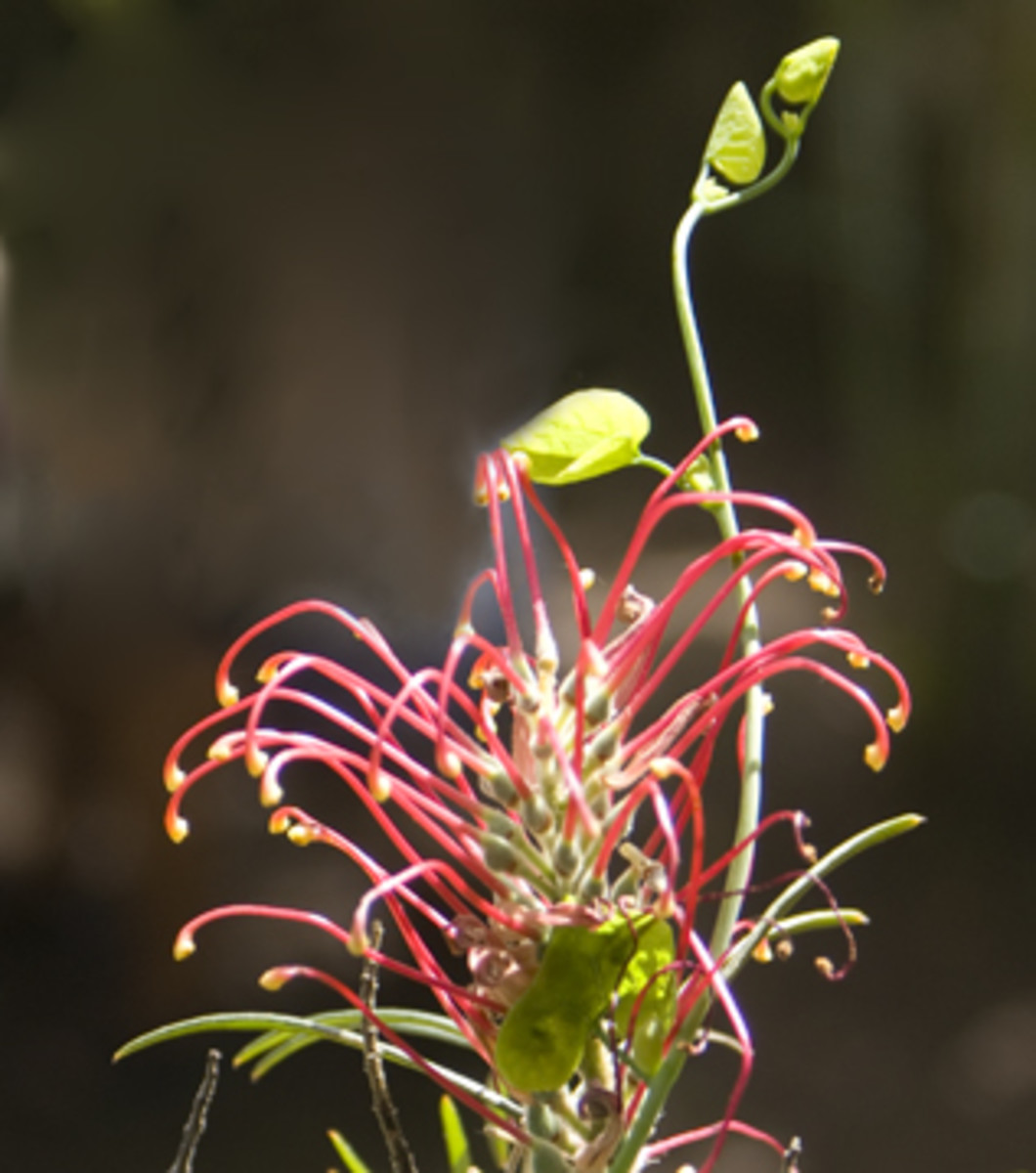 The flower of a small tree.  The vine tip is part of the plant that made the unusual flower in the photo above.