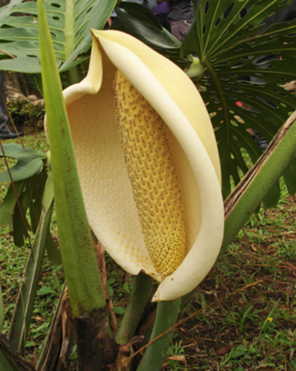 Monstera deliciosa flower.  Spathe-type flowers are not unusual, but this one is especially large.  Found on the campus of the University of Costa Rica.