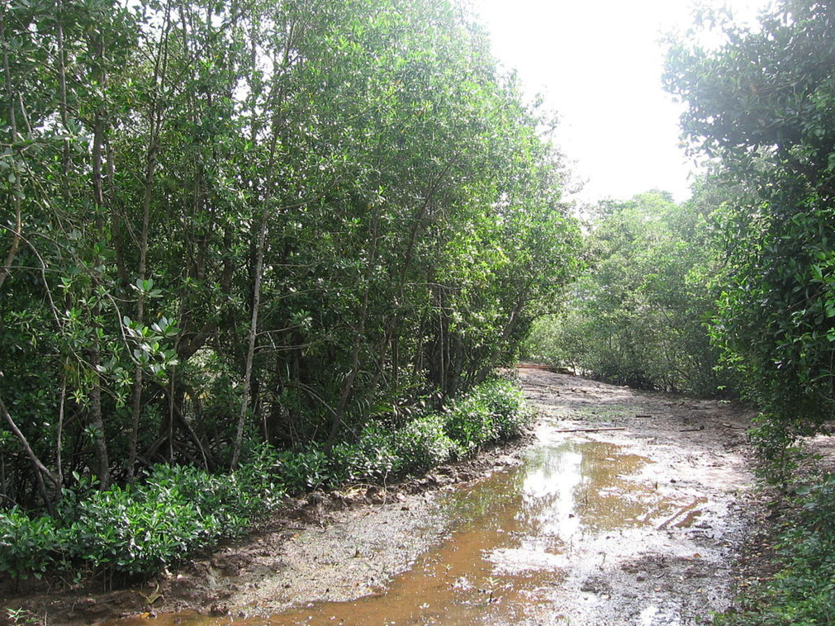 Mangroves at Pulau Ubin