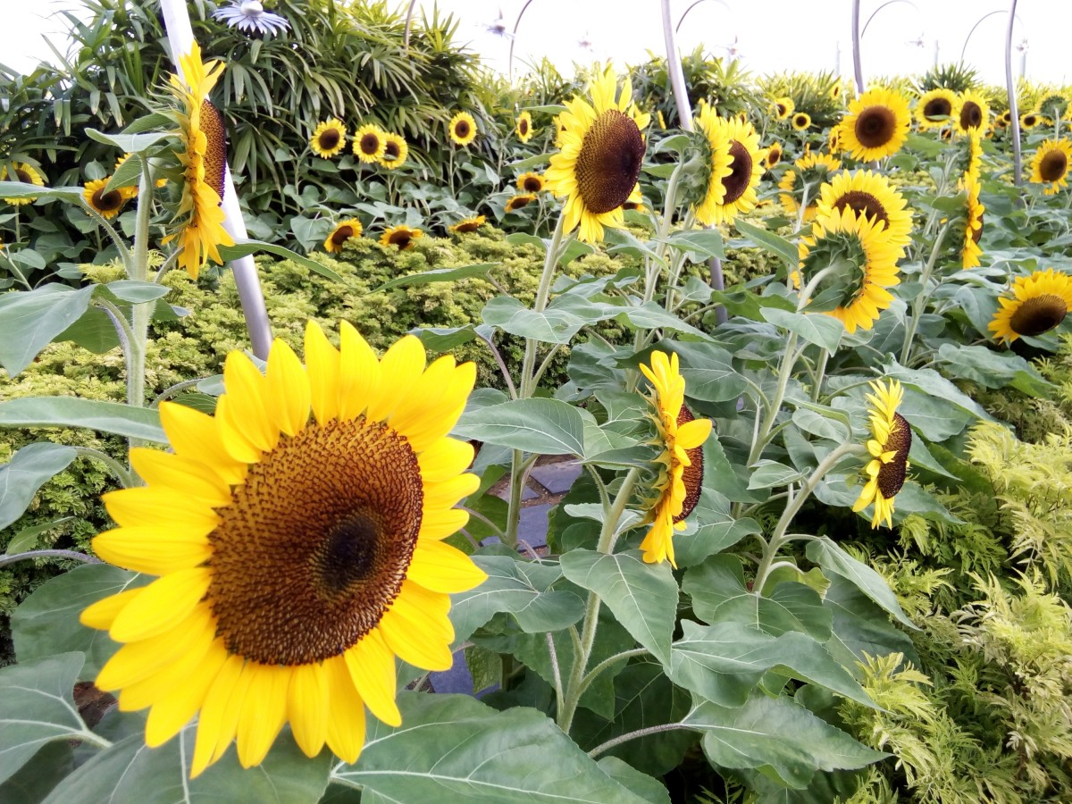 Sunflower Garden at Changi Airport