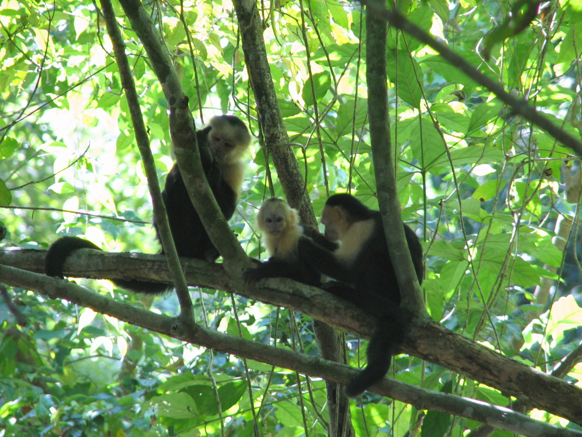A family of white-faced capuchin monkeys hanging out in Corcovado